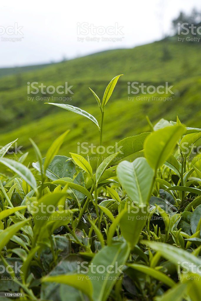 Tea Plant stock photo