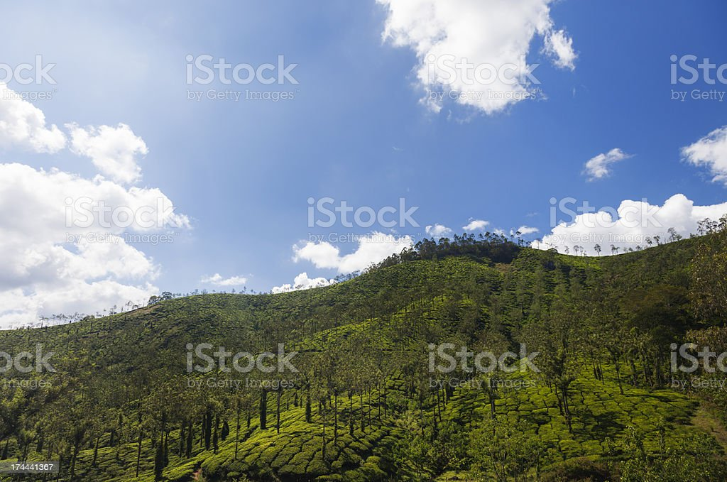 Tea plantage stock photo
