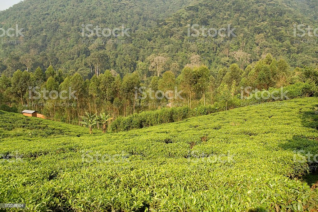 Tea plantation and rainforest royalty-free stock photo