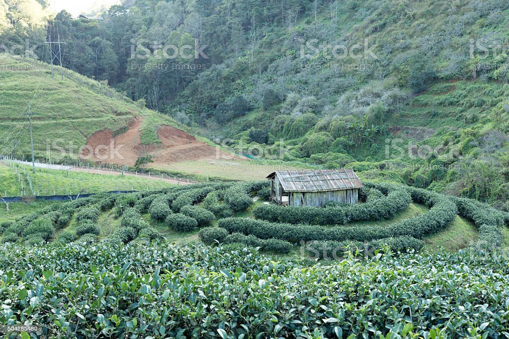 Tea plantation and small hut in Thailand stock photo