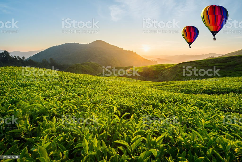 Tea plantation at Cameron highlands with hot air balloon stock photo