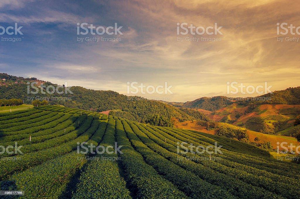 Tea Plantation at Doi Mae Salong in Chiang Rai, Thailand stock photo