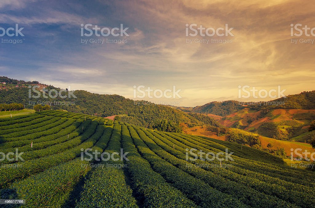 Tea Plantation at Doi Mae Salong in Chiang Rai, Thailand stock photo