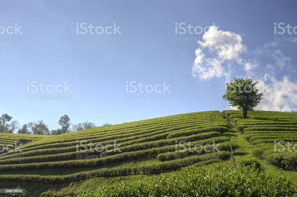 Tea Plantation at 'Doi-Mae-Salong' in chiang rai northern Thailand royalty-free stock photo