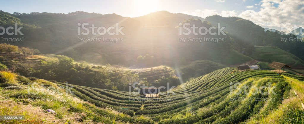 Tea plantation beautiful landscape on hill stock photo