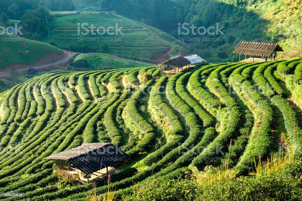 Tea plantation beautiful landscape stock photo