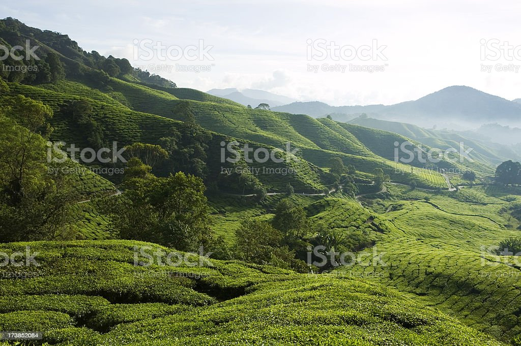 tea plantation cameron highlands pahang malaysia royalty-free stock photo