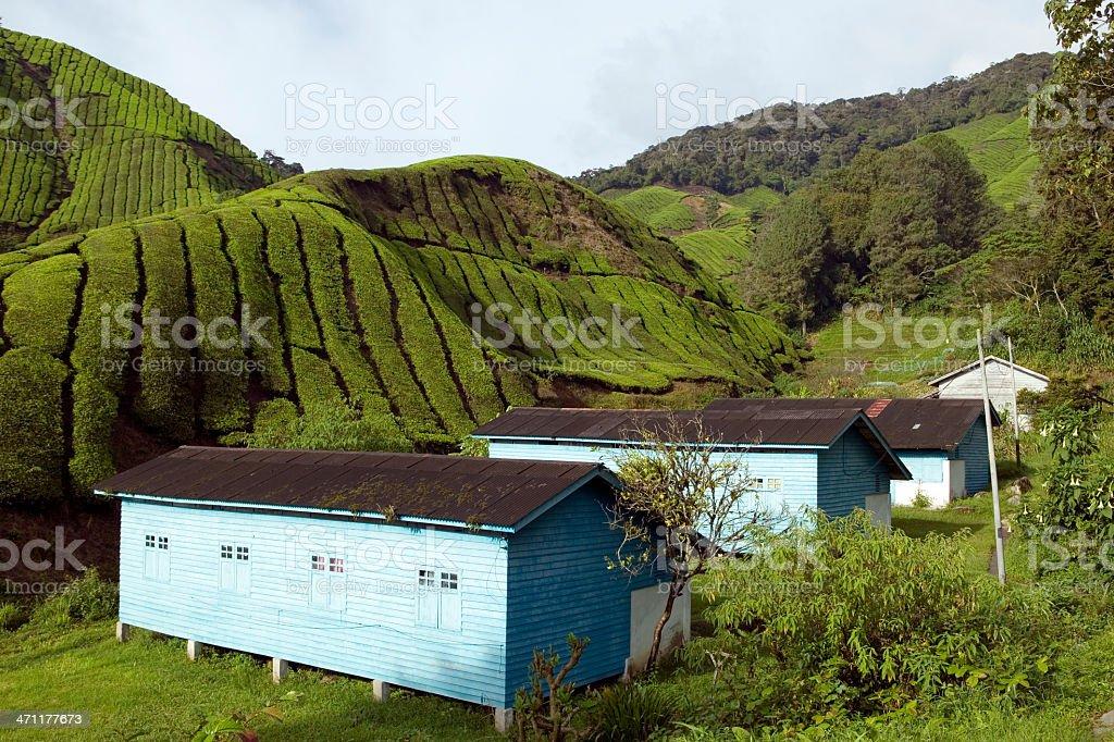 tea plantation cameron highlands pahang malaysia royalty-free stock photo