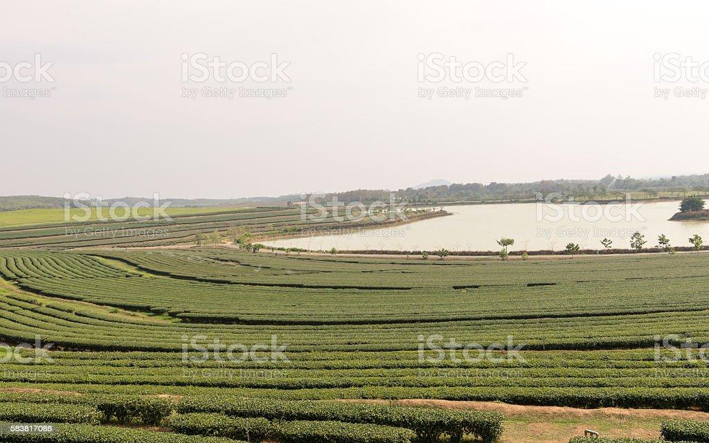 Tea plantation Chiangrai, Thailand Feb 2016 stock photo