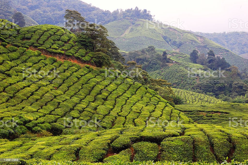 Tea Plantation Farm Cameron Highland stock photo