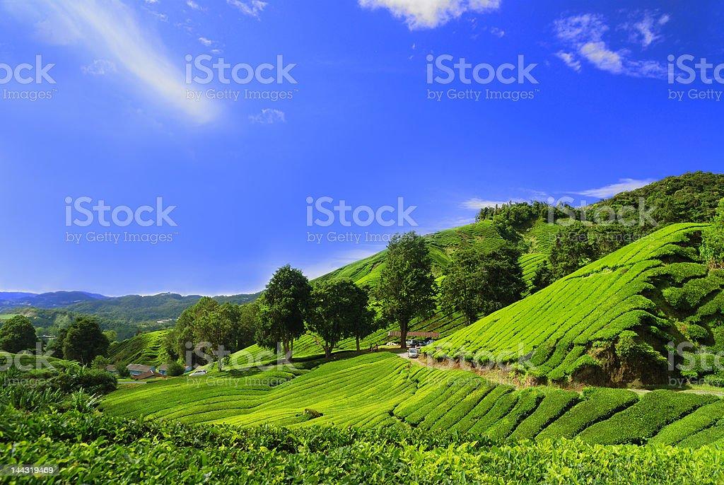 Tea Plantation Fields in Cameron Highland royalty-free stock photo