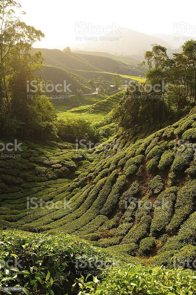 Tea Plantation Fields on the Hills royalty-free stock photo