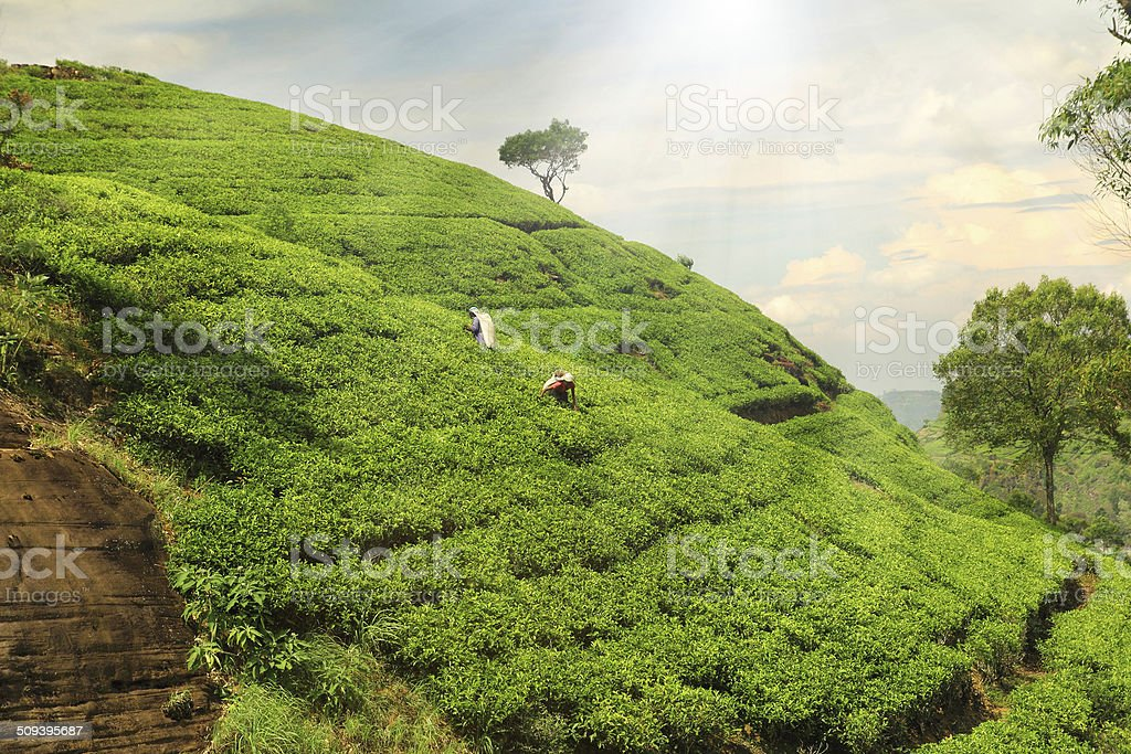 tea plantation hills stock photo