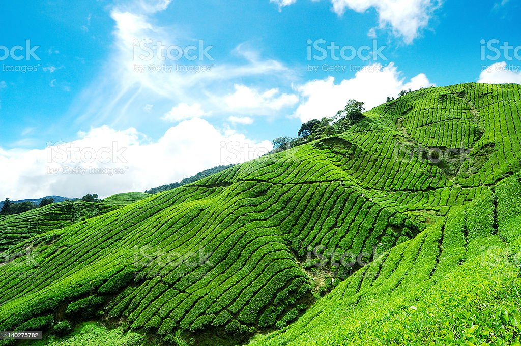 Tea Plantation in Cameron Highland stock photo