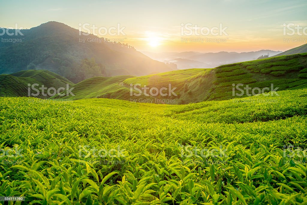 Tea plantation in Cameron highlands, Malaysia stock photo