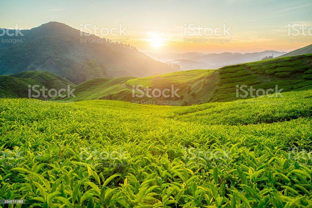 Tea plantation in Cameron highlands, Malaysia stock photo