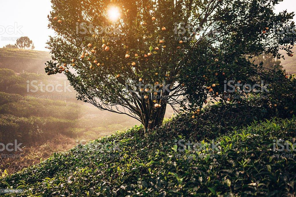 Tea plantation in India stock photo