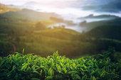 Tea plantation in India