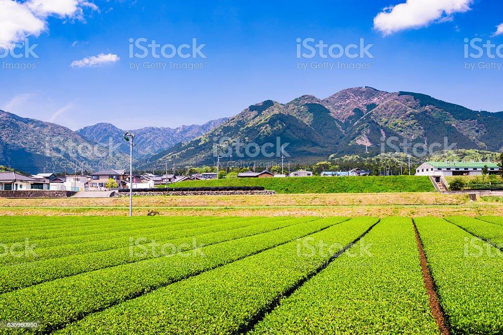 Tea Plantation in Japan stock photo