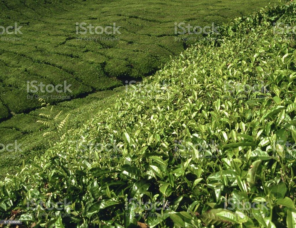 Tea plantation in Malaysia royalty-free stock photo