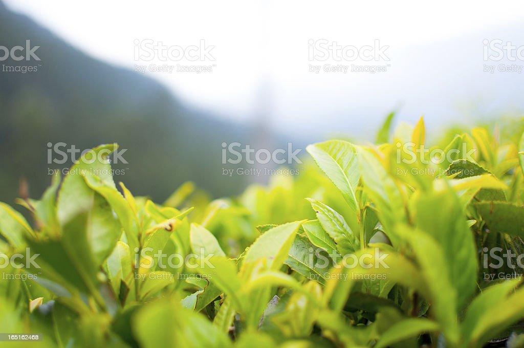 Tea Plantation in Munnar, India royalty-free stock photo