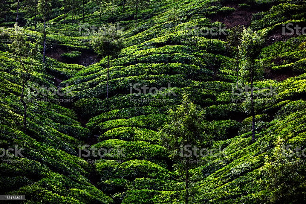 Tea Plantation in Munnar, India stock photo