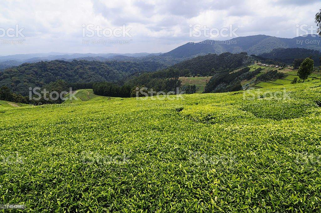 Tea Plantation in Rwanda royalty-free stock photo