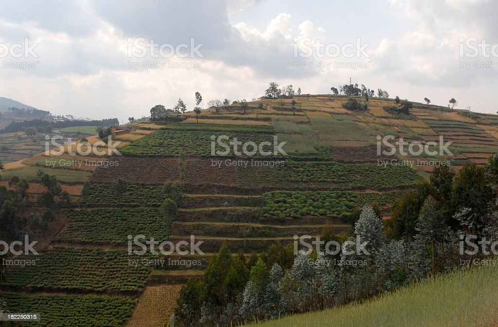 Tea plantation in south-west part of Rwanda royalty-free stock photo