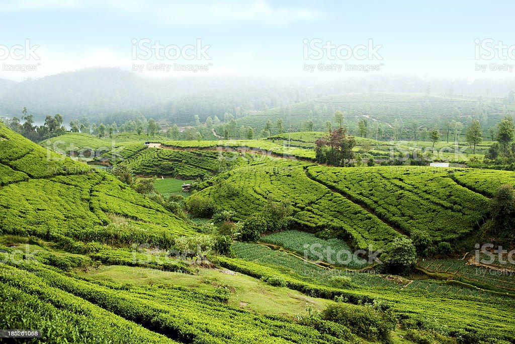 Tea Plantation in Sri Lanka royalty-free stock photo
