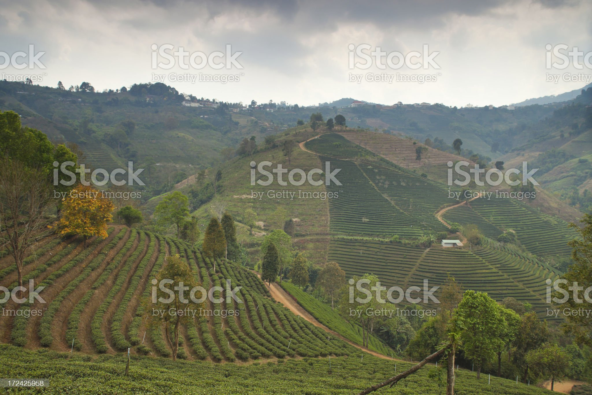 Tea Plantation in Thailand royalty-free stock photo