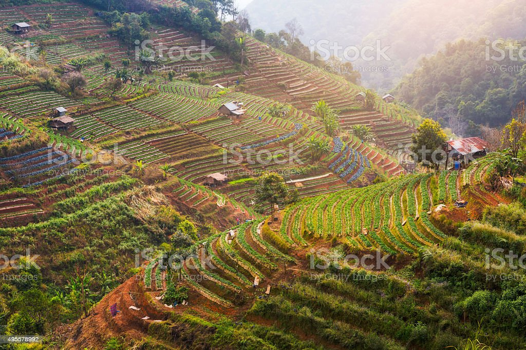 Tea plantation in Thailand stock photo