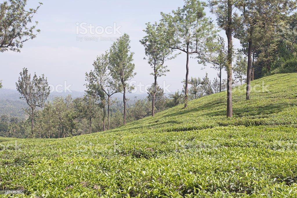 Tea plantation, India royalty-free stock photo