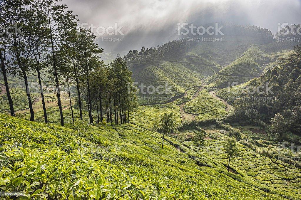 Tea plantation, Kannan Devan Hills, Munnar, Kerala, India. royalty-free stock photo