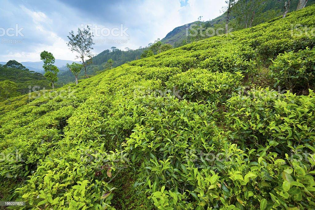 Tea plantation landscape royalty-free stock photo