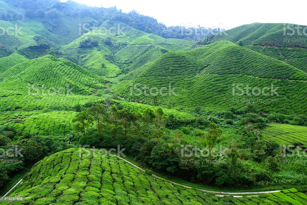 Tea Plantation Landscape stock photo