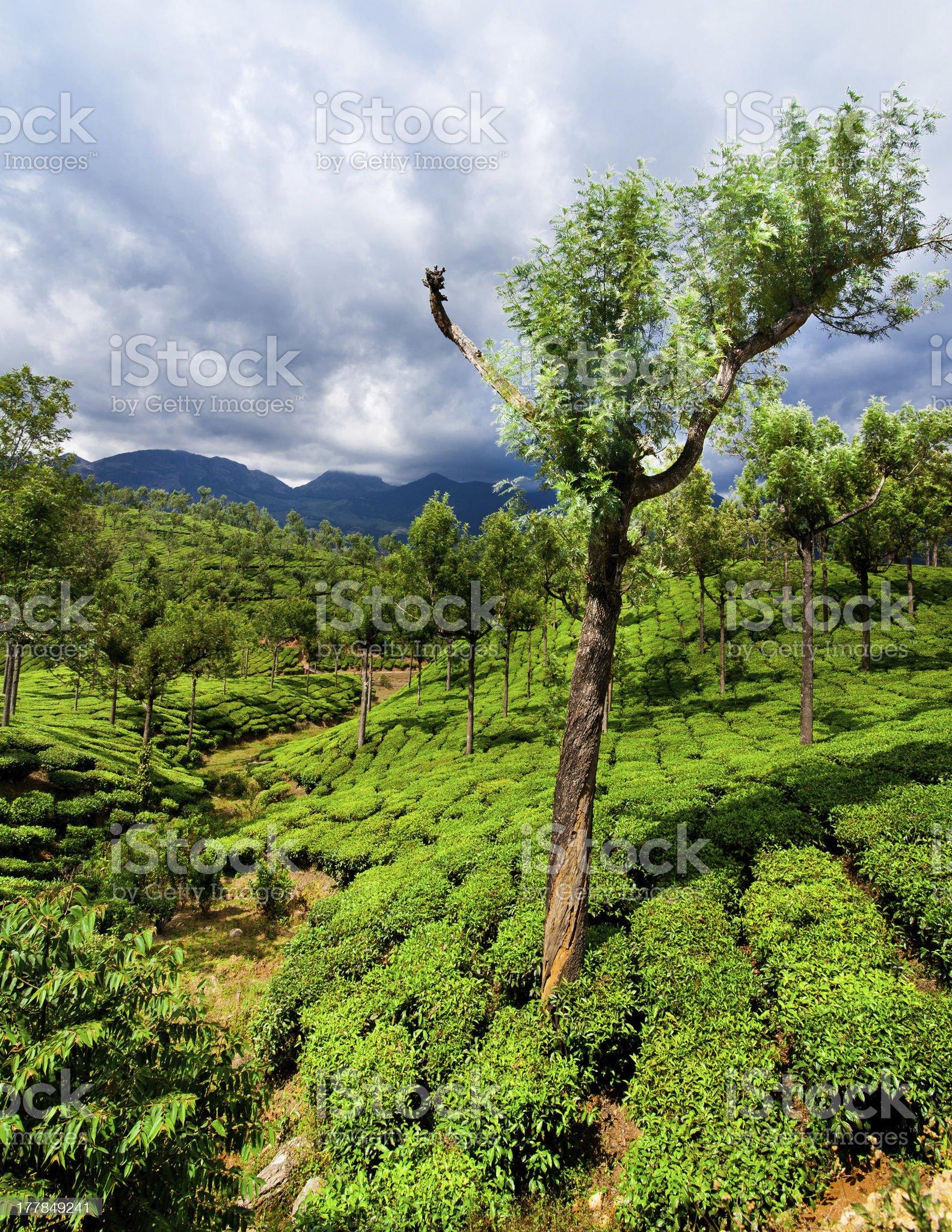 Tea plantation landscape under blue cloudy sky. India royalty-free stock photo