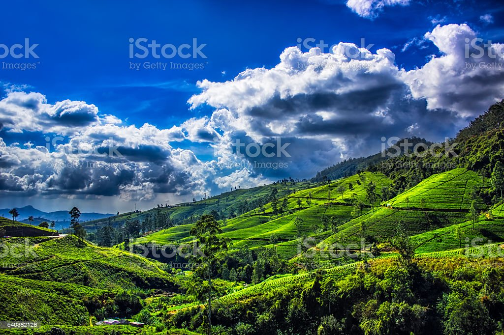 Tea plantation landscape with Sky stock photo