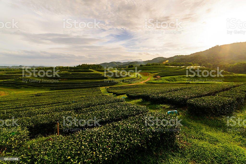 Tea plantation landscape with sunrise, OOlong tea field stock photo