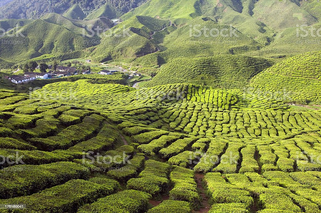 tea plantation malaysia stock photo