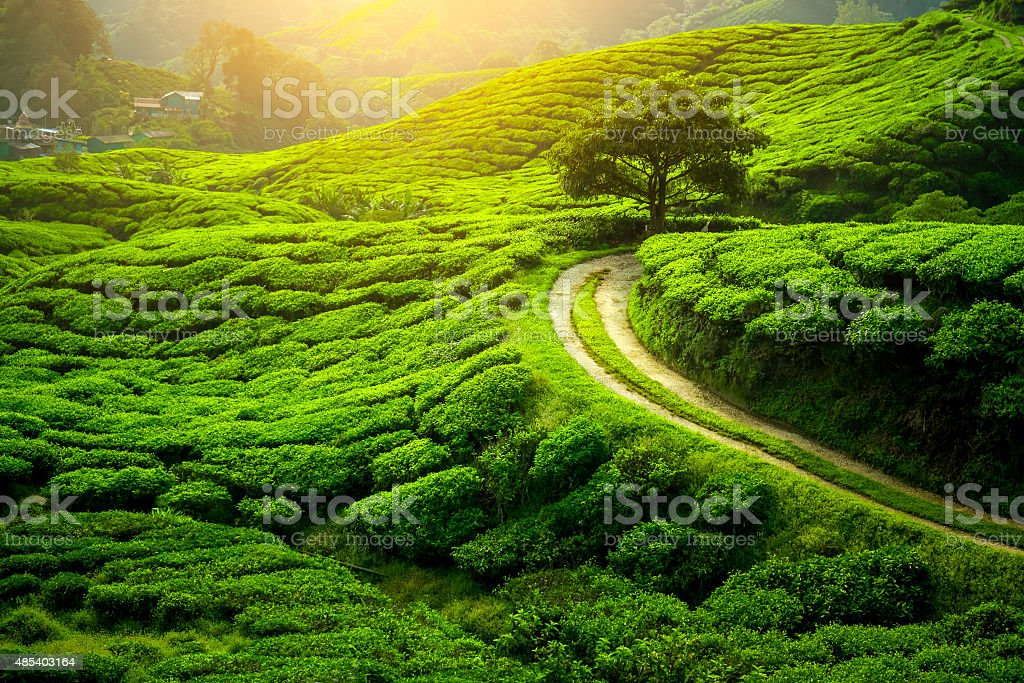 Tea plantation. Natural lanscape stock photo
