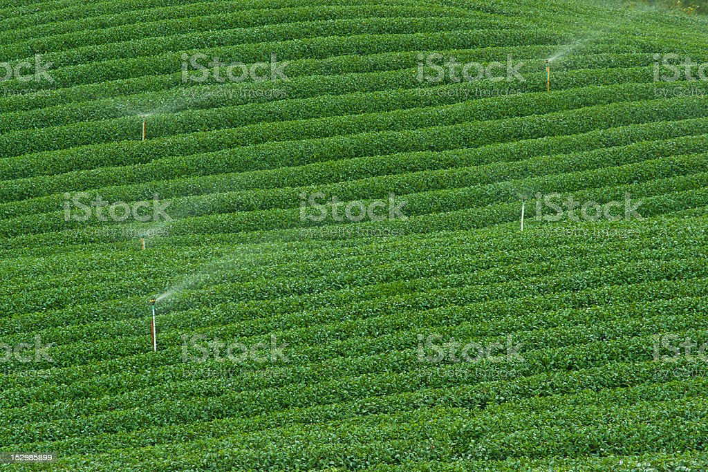 Tea plantation, Nature, Plant, Leaf, Sprinklers royalty-free stock photo