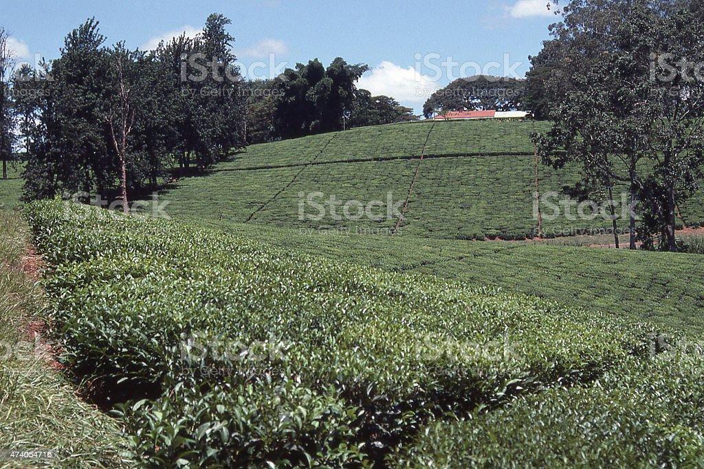 Tea Plantation  near Blantyre and Mulanje Malawi Africa stock photo