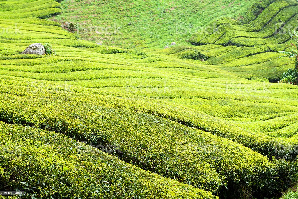 Tea plantation of Sungai Palas stock photo
