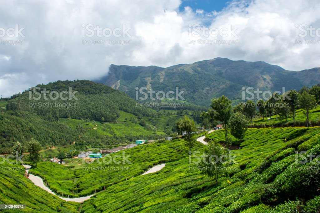 Tea Plantation On Mountains - Munnar Kerala stock photo