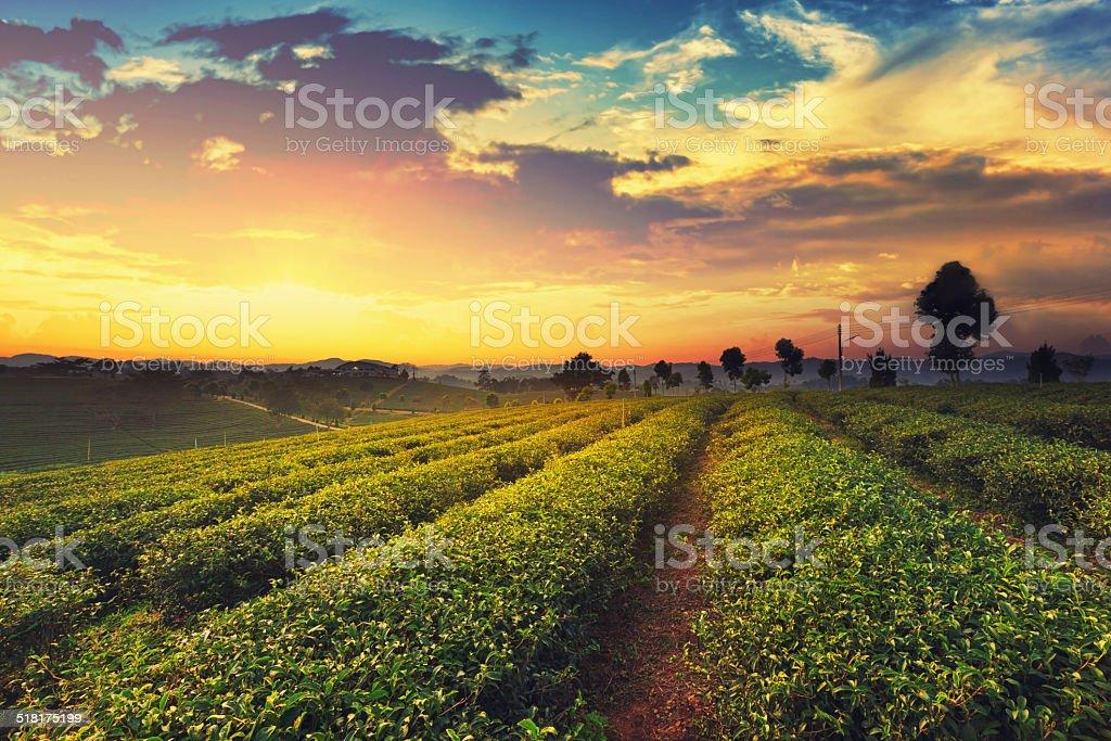 Teeplantage auf Sonnenuntergang Lizenzfreies stock-foto
