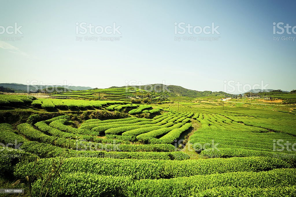 Tea plantation royalty-free stock photo