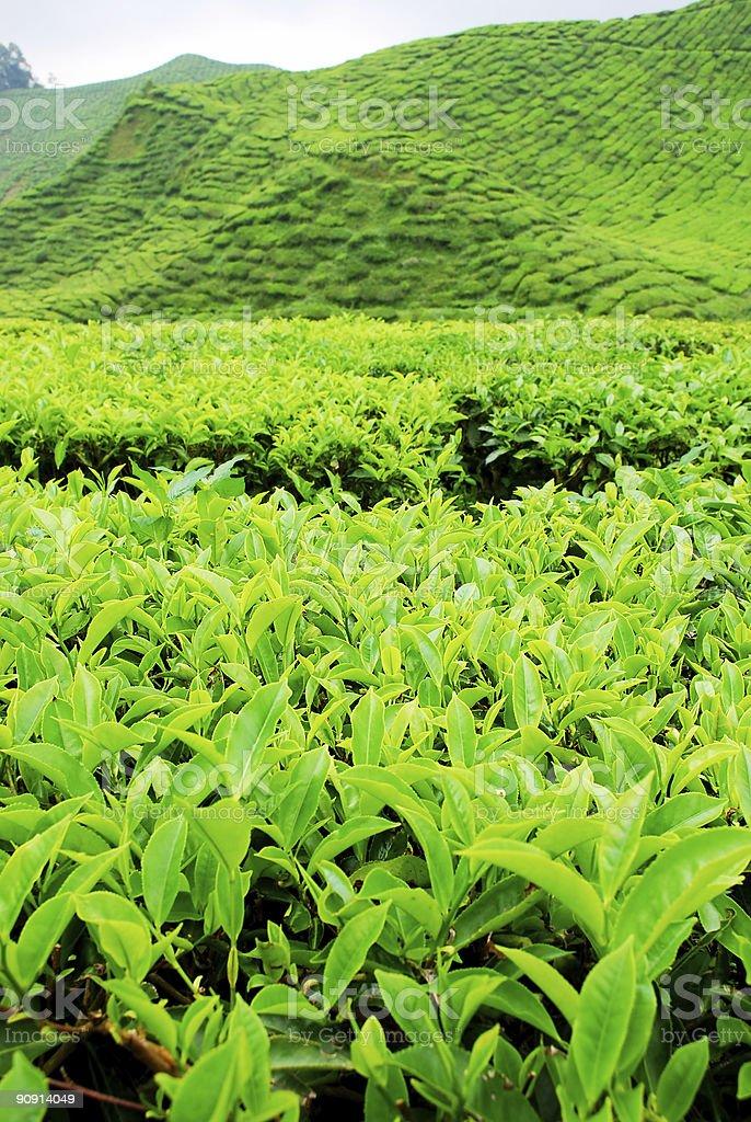 Tea plantation scenery stock photo