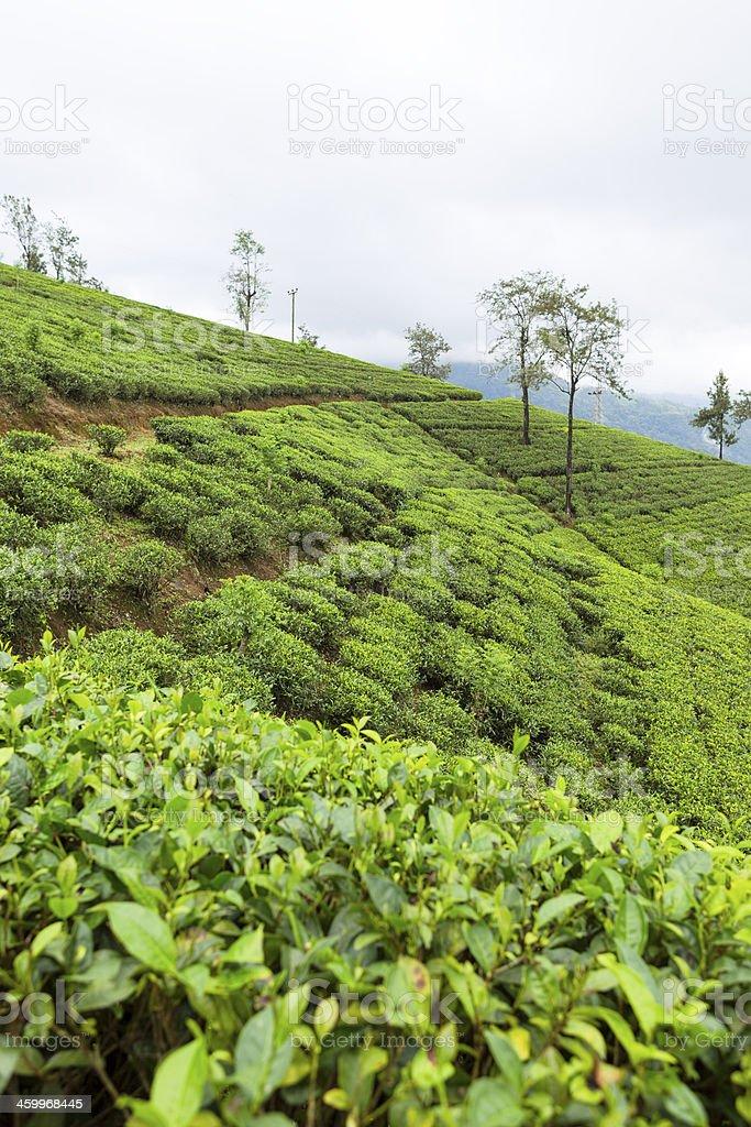 Tea plantation Sri Lanka royalty-free stock photo