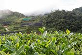 Tea plantation, Tea field with fog in background