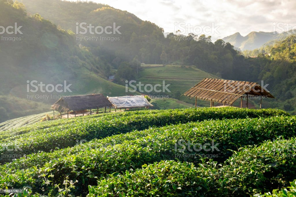 Tea plantation thatched pavilion in morning stock photo